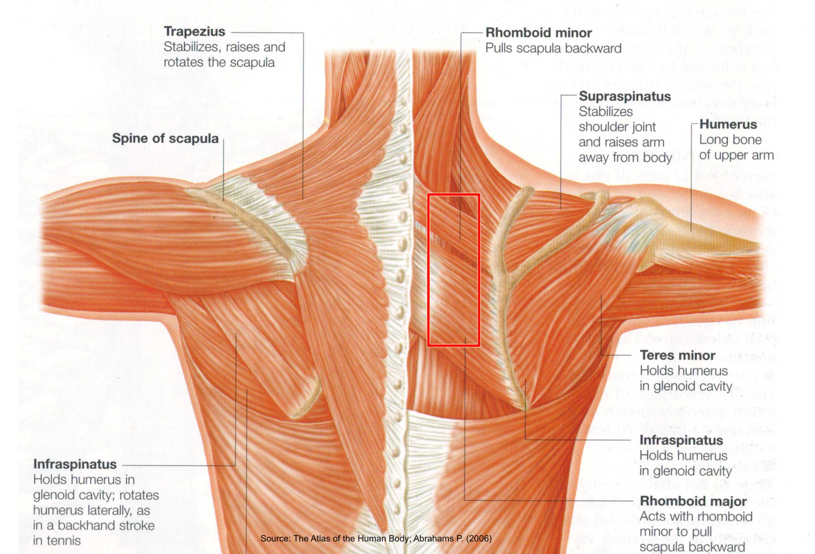muscles-in-shoulder-area